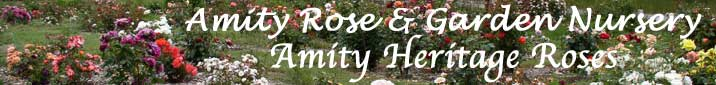 Amity Heritage Roses
